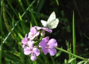 Nature Trails at Pink Apple Orchard - 'Small White' Butterfly