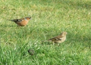 Nature Trails at Pink Apple Orchard - Male & female Chaffinch