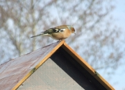 Nature Trails at Pink Apple Orchard - Male Chaffinch