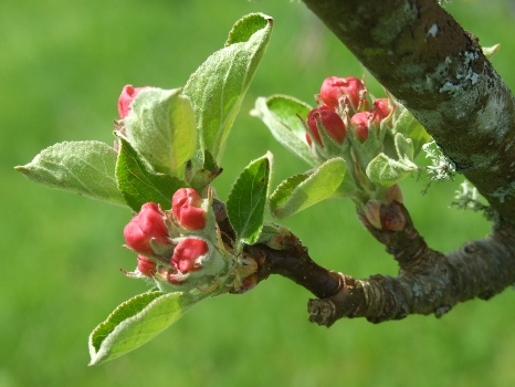 Apple Orchard Blossom at Luxury Camp Site.