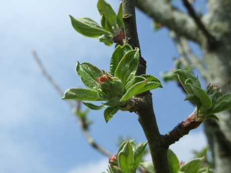Spring Begins as Cider Orchard begins to Blossom