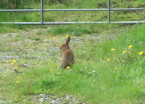 Wildlife in Pink Apple Orchard - Our Friendly Hare