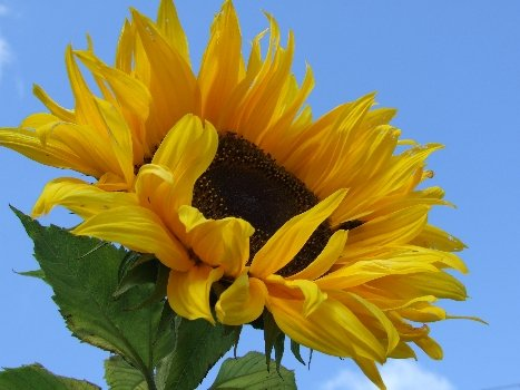 Glamping In Ireland - Home grown Sunflowers. Outdoor Fun For Children.