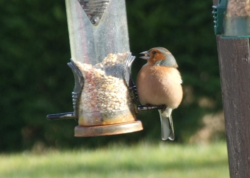 Wildlife in Luxury Campsite, Leitrim, Ireland - Male Chaffinch