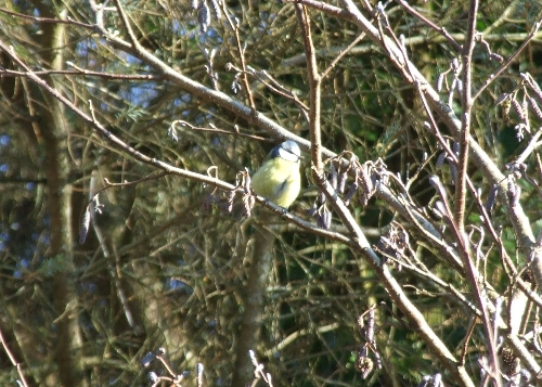Blue - Tit. Wildlife in Luxury Campsite, Leitrim, Ireland