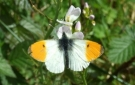 Photography in Ireland - Wild Life in Pink apple Orchard - 'Orange Tip' butterfly