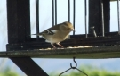Wildlife in Luxury Campsite, Leitrim, Ireland - Female Chaffinch