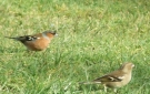 Male & Female ChaffinchWildlife in Luxury Campsite, Leitrim, Ireland.