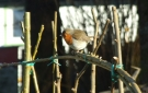 Nature in Ireland - Glamping at Pink Apple Orchard - Robin on Willow Fencing