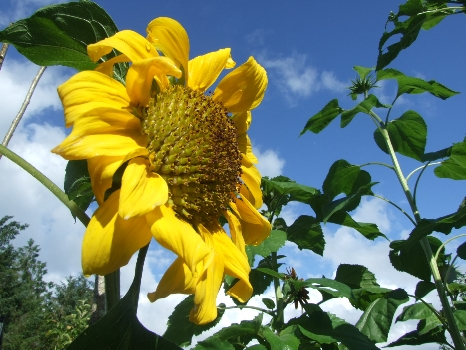 Pink Apple Orchard's Sunflowers begin to shine...