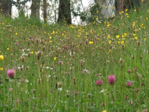 Ireland's Nature and Wildlife. Wild Flower Meadows in Ireland, Leitrim